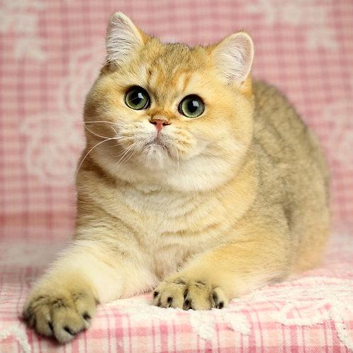 5 Claus  British shorthair male kitten