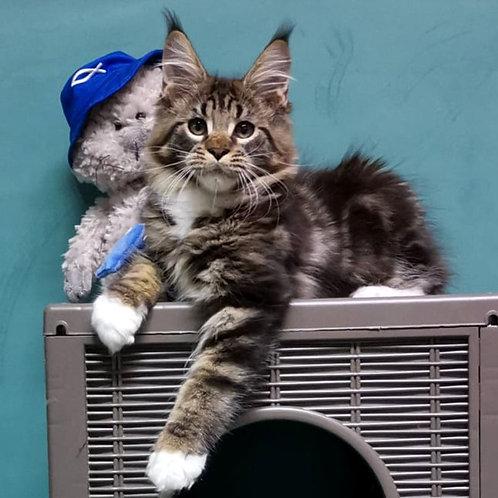 183 Imperator   Maine Coon male kitten