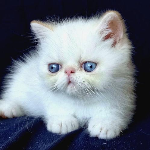 101 Eva  Exotic  female kitten
