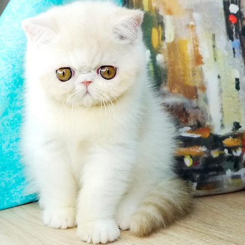 156 Esterhazy   Exotic  male kitten