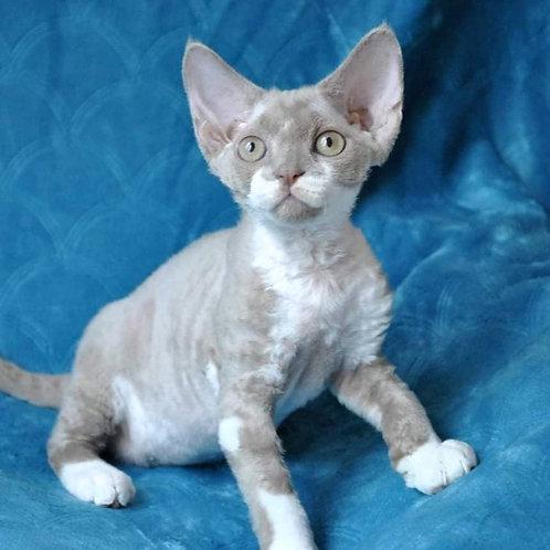 479 Qventin   male Devon Rex kitten