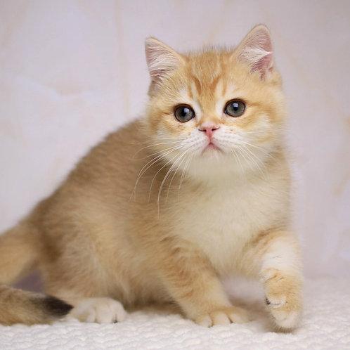 960 Bernardo  British shorthair male kitten