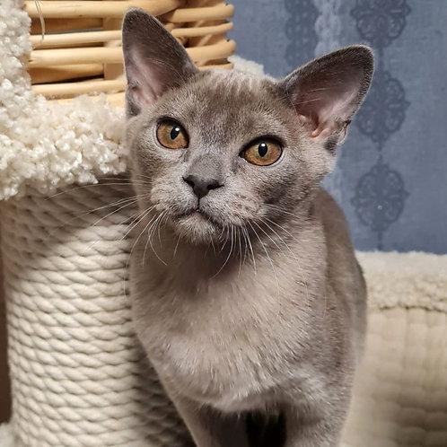 77 Donald   Burmese  male kitten