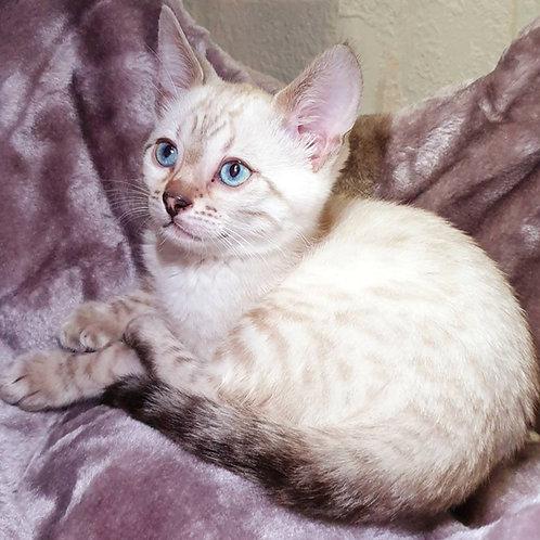 191 Bali purebred Bengal male kitten