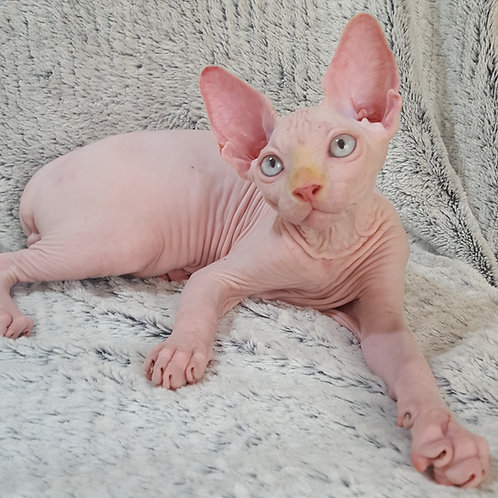 Ivas male Sphinx kitten