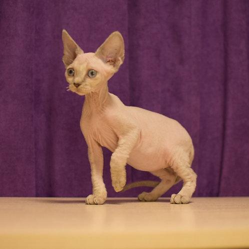 Eldar male kitten Devon Rex