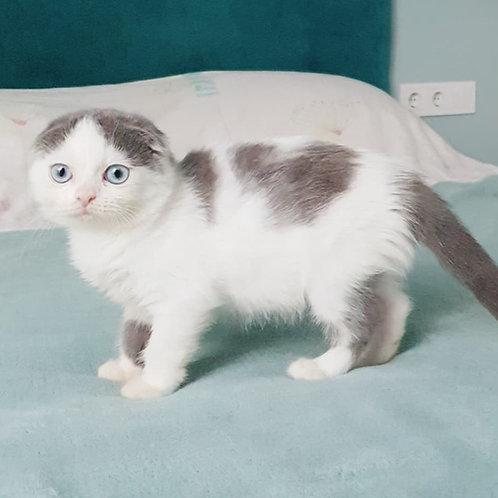 Kiss-Kiss Scottish fold shorthair female kitten
