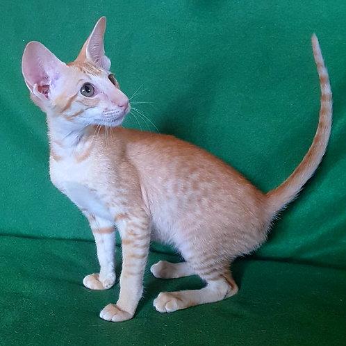 464 Hakim Ham Oriental male kitten