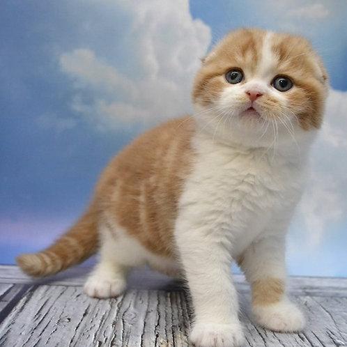 Billy Scottish fold shorthair male kitten