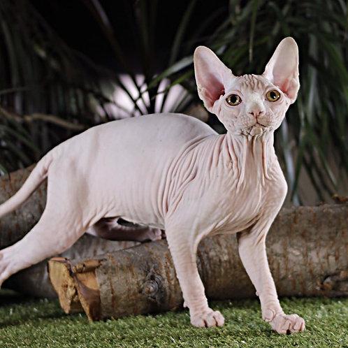 666 Rotmans  male Sphynx   kitten