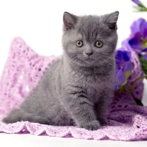 888 Ferdinand  British shorthair male kitten