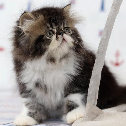 120 George   Persian  male kitten