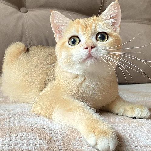 996 Archi  British shorthair male kitten