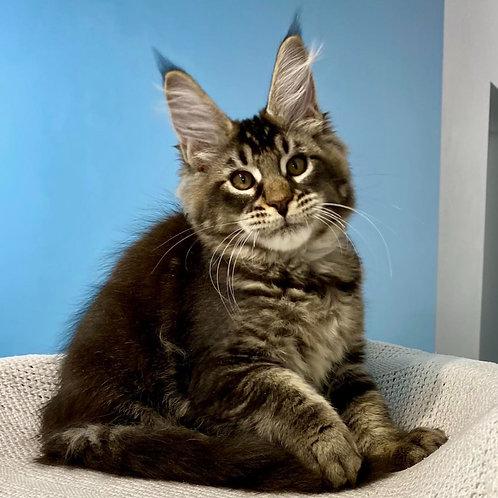 766 Tuchka  Maine Coon female kitten