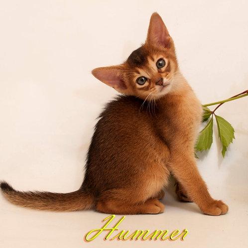 229 Hummer   purebred Abyssinian male kitten