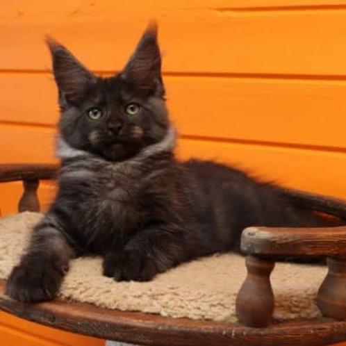 Zander Maine Coon male kitten