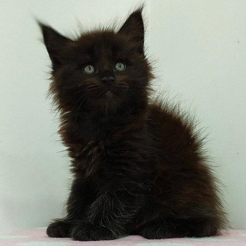826 Elvis Maine Coon male kitten