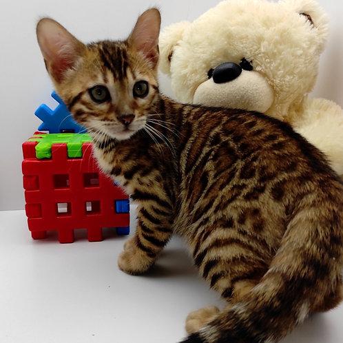 87 Viktor  purebred Bengal male kitten