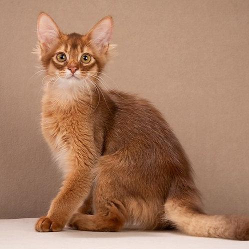 192 Festival  purebred Somali male kitten