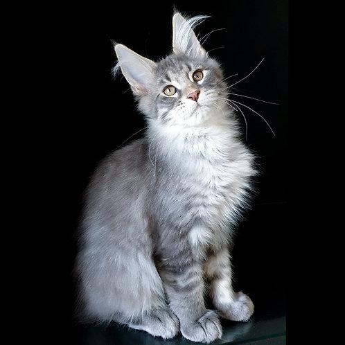 624 Winnie Pooh  Maine Coon male kitten