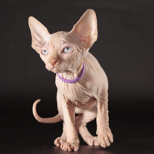 86 Farengheit      male Sphinx kitten
