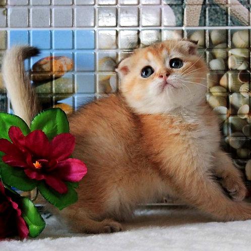 252 Zamir    Scottish fold shorthair male kitten