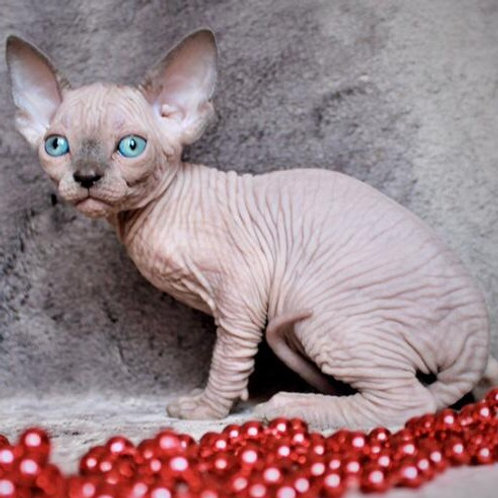 260 Edison  male Sphinx kitten