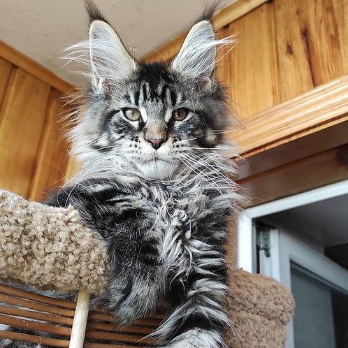 566 Damon  Maine Coon male kitten