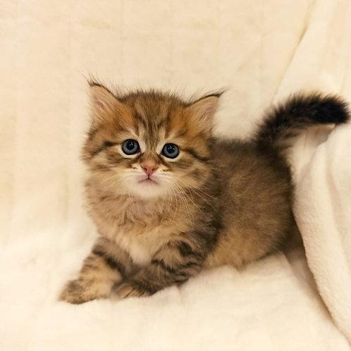 Orphey Siberian male kitten