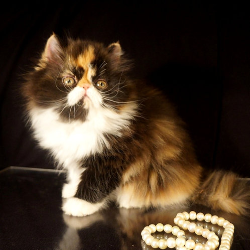 80 Eva   Persian  female kitten