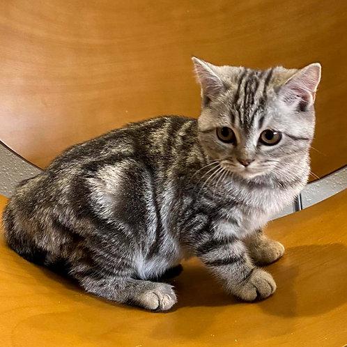 872 Demi  British shorthair female kitten