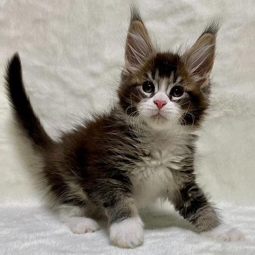 461 Paks  Maine Coon male kitten