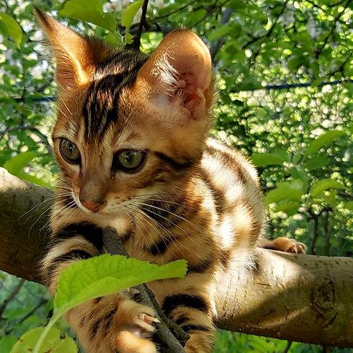 130 Aris  purebred Bengal male kitten