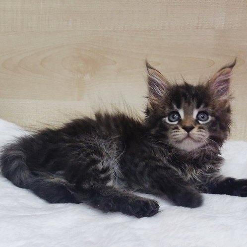 Lamborghini Maine Coon female kitten