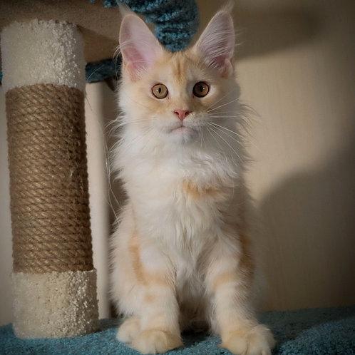 206 Zany  Maine Coon male kitten