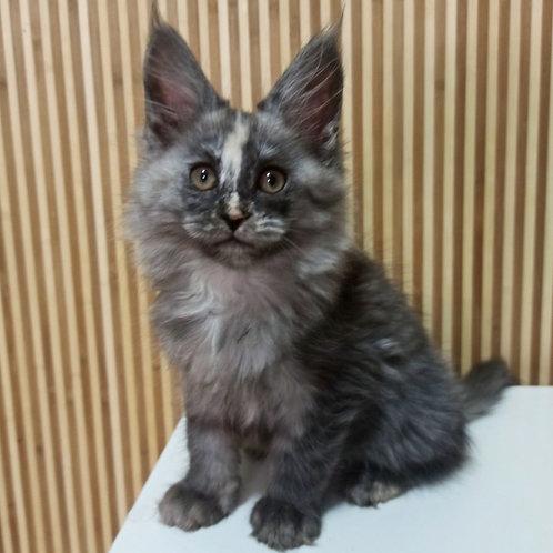 748 Anksunamun Maine Coon female kitten