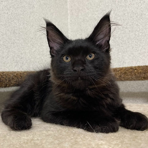 608 Omar  Maine Coon male kitten