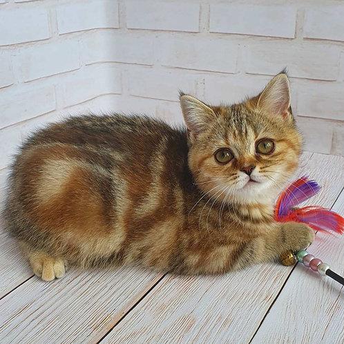 506 Dacota      Scottish straight shorthair female kitten
