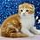 Thumbnail: 652 Izyum   Scottish fold shorthair male kitten