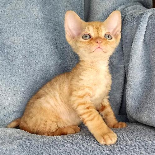 669 Garfield  male kitten Devon Rex