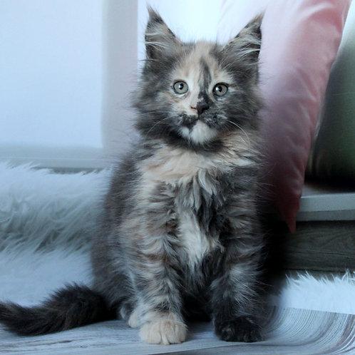 22 Milana Maine Coon female kitten