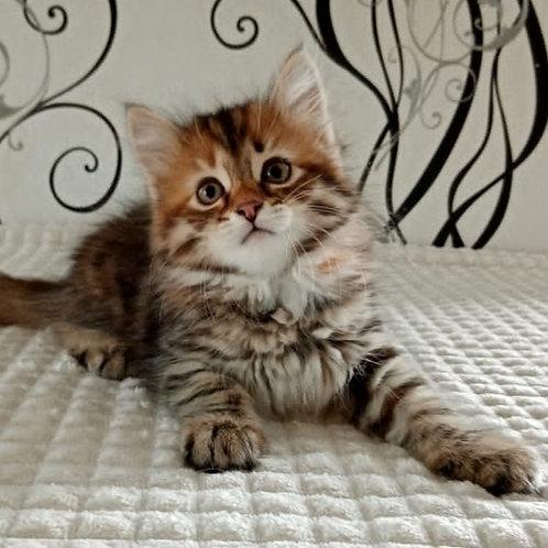 138 Bozhena     Siberian female kitten