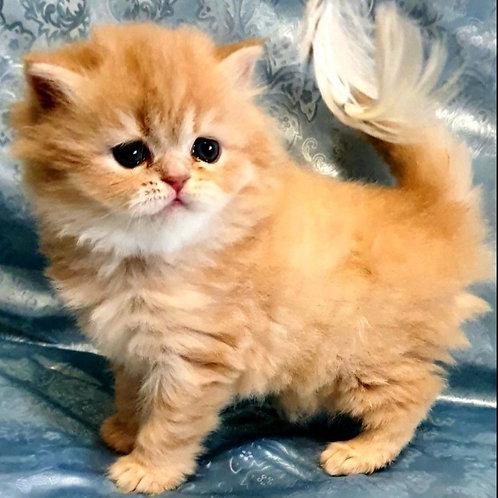 424 Gelena      Scottish straight longhair female kitten