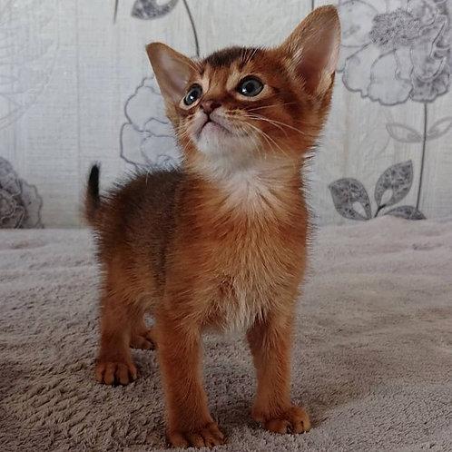 111 Ferguson  purebred Abyssinian male kitten