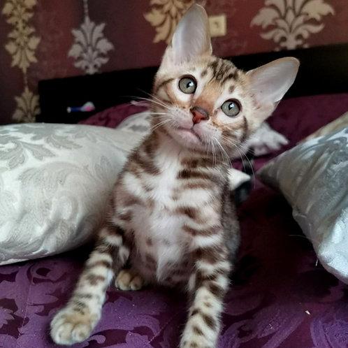 203 Boston  purebred Bengal male kitten