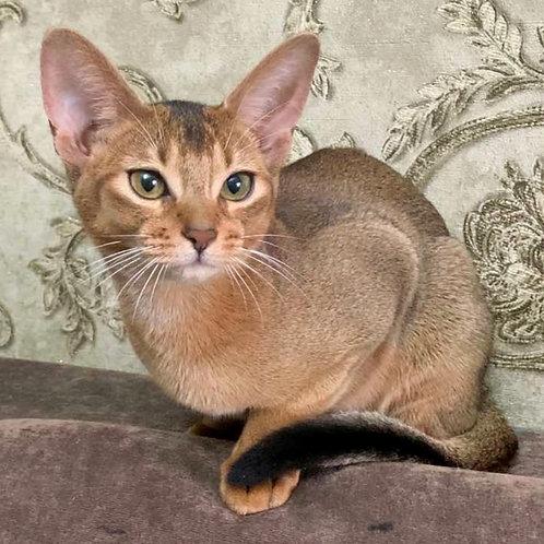 182 Bast   purebred Abyssinian female kitten