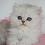 Thumbnail: 436 Milord  British longhair male kitten