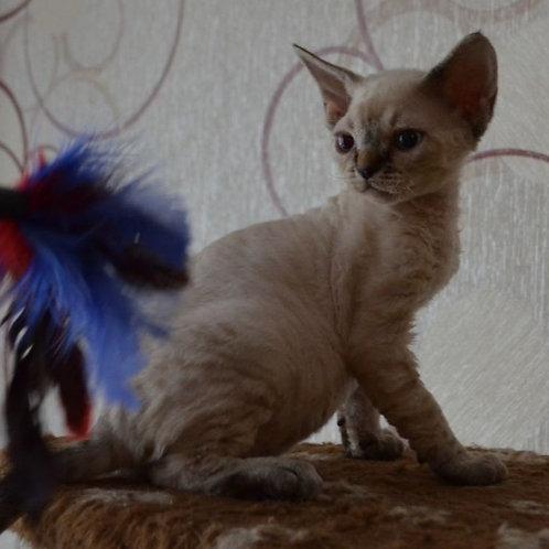 295 Clara    female kitten Devon Rex