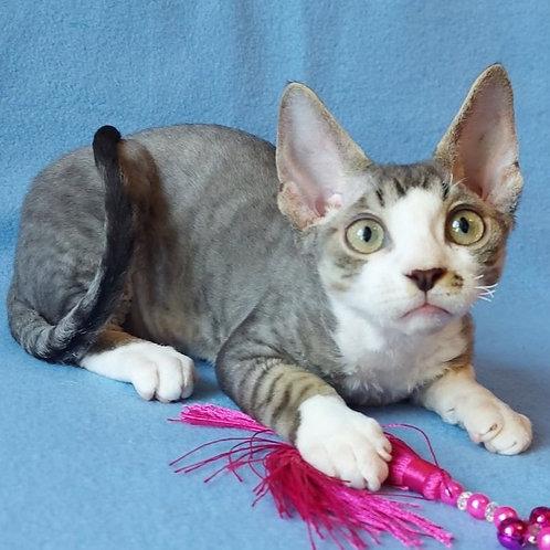 328 Vermut   male kitten Devon Rex
