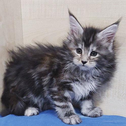 Katherine Maine Coon female kitten